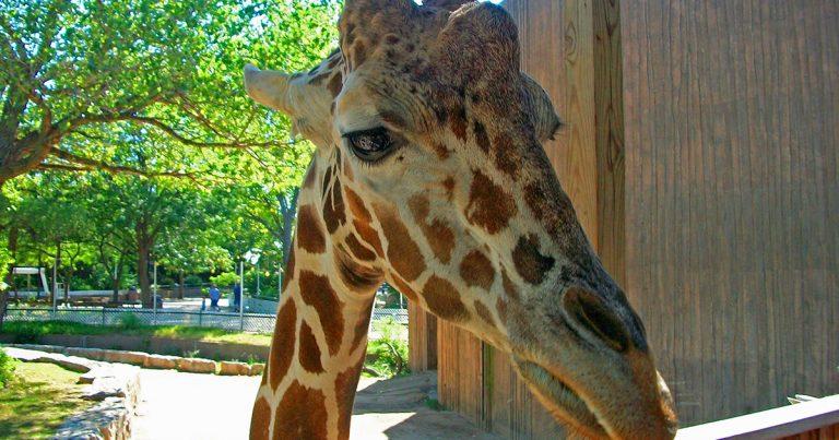 Sedgwick County Zoo Giraffe